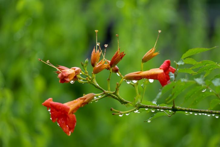 The hardy trumpet vine doesn't need any extra food or water.