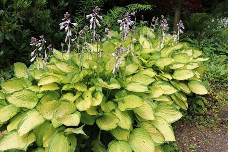 Large flowering hosta plants.