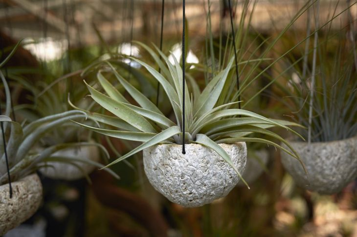 Air plants in hanging containers.