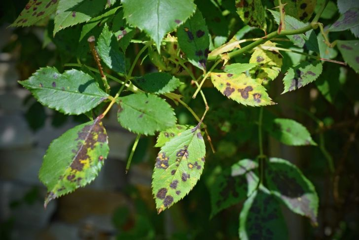 Roses can be susceptible to black spot, a fungal disease.