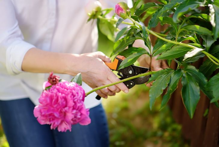 Deadheading keeps your peony looking good and encourages new blooms.