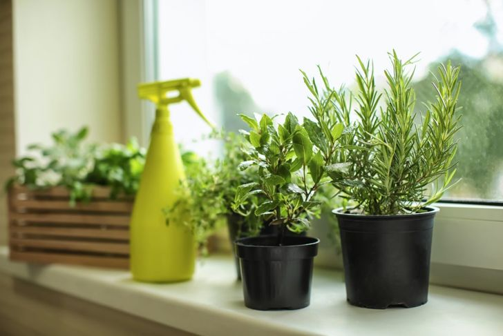 rosemary and herbs in indoor containers