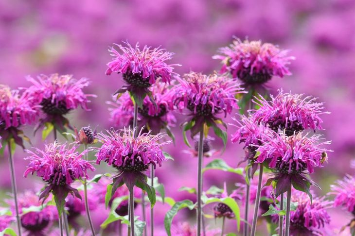bee balm garden blooms monarda