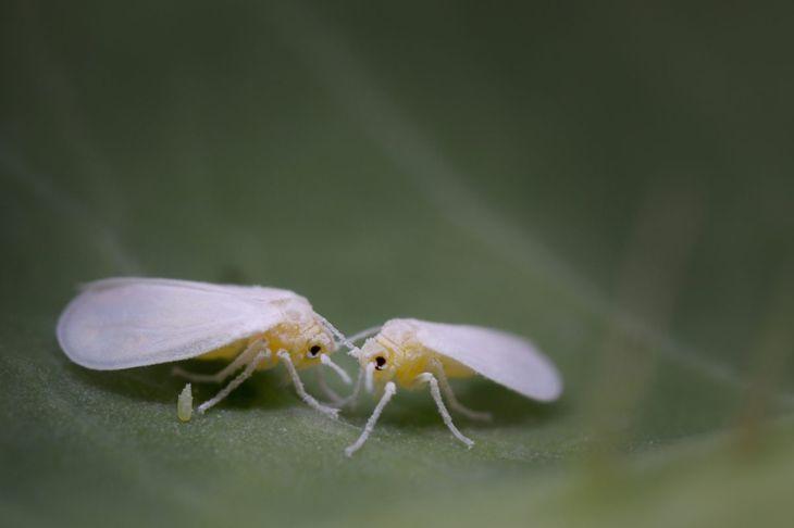 pests spider mites slugs whiteflies