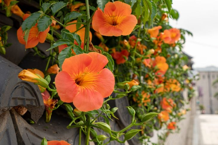 While performing best in the southeast, trumpet vine will thrive in most warm climates.