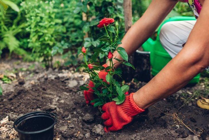 Transplanting a rose plant.