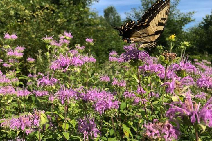 prairie flower dry wet monarda