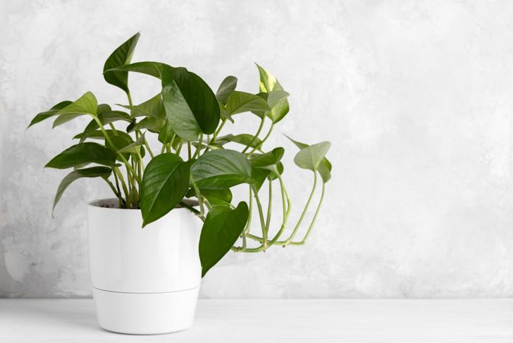 Pothos are a popular choice for vine plants.
