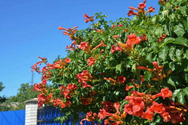 Great for covering trellises but potentially damaging, trumpet vine is highly invasive.