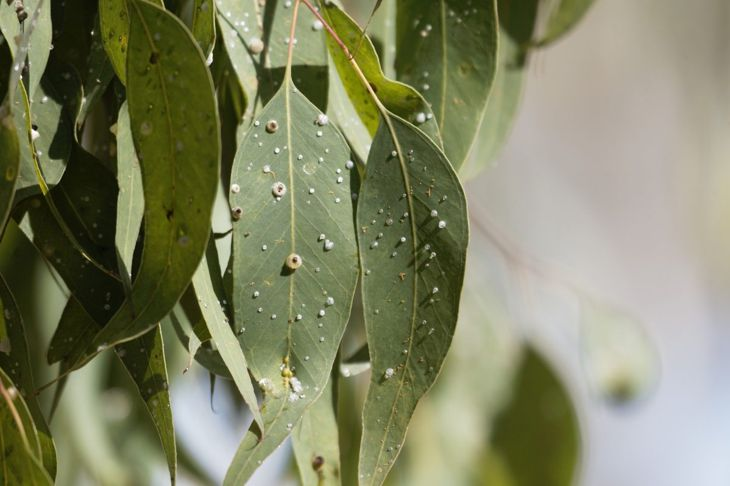 Take care to prevent pests and disease from taking your eucalyptus plant down.