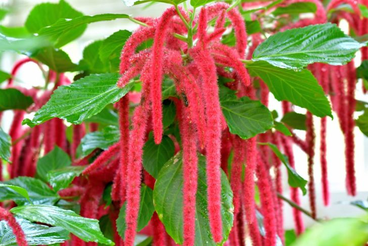 acalypha hispida tropical chenille plant