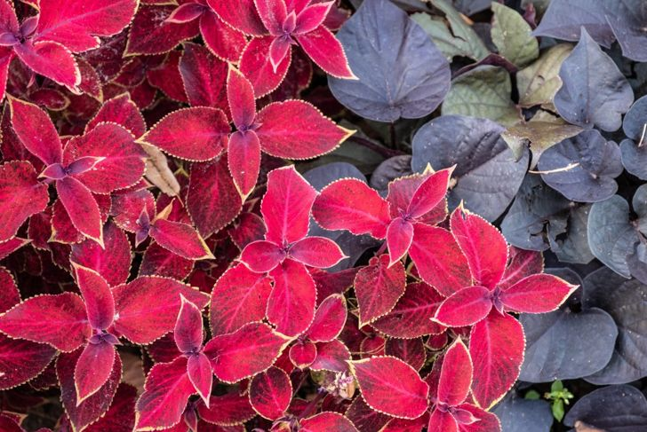 Healthy coleus growth in neutral pH soil