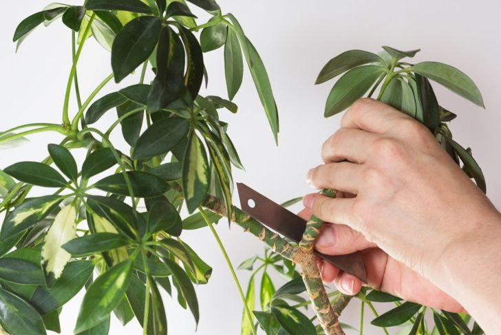 maintain shape fast growing pruning