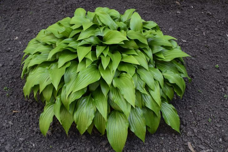 Large hosta plant in mulch.