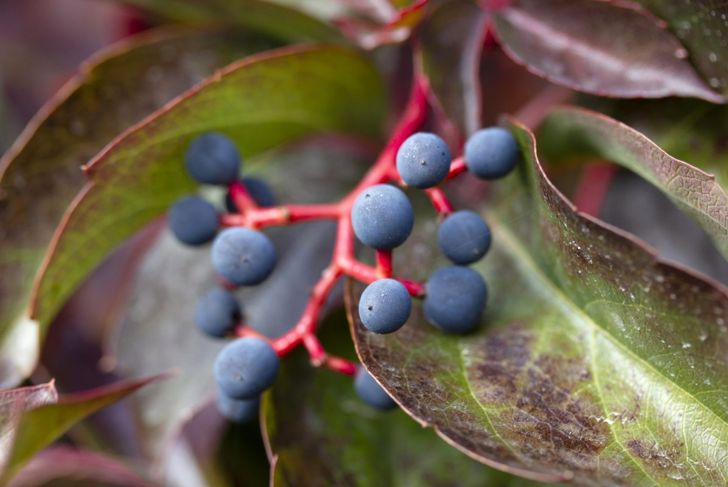 fall deciduous blue berries