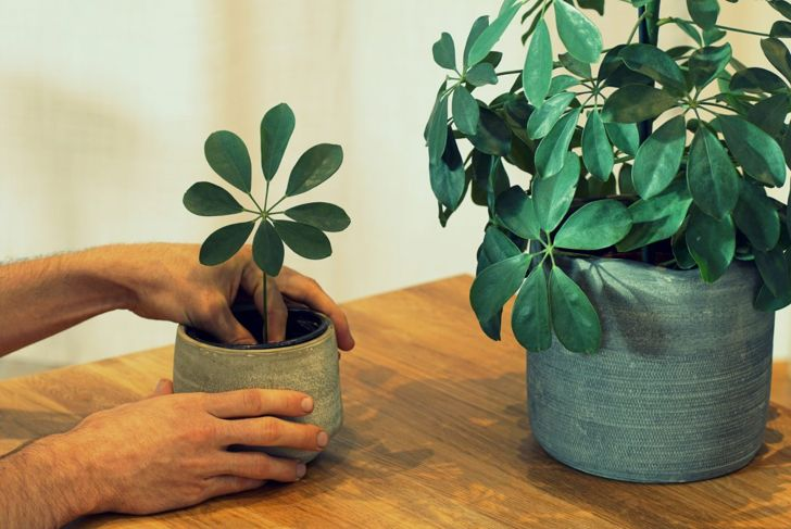 create new plants propagate schefflera