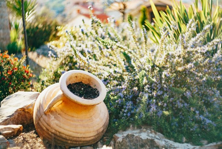 rosemary in a sunny garden