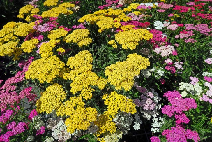 achilles miracle plant love yarrow