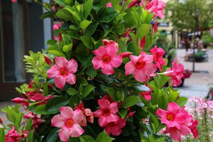 perennial landscape bloom vine mandevilla