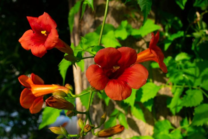The trumpet vine is most easily recognized by its lengthy, horn-shaped flowers