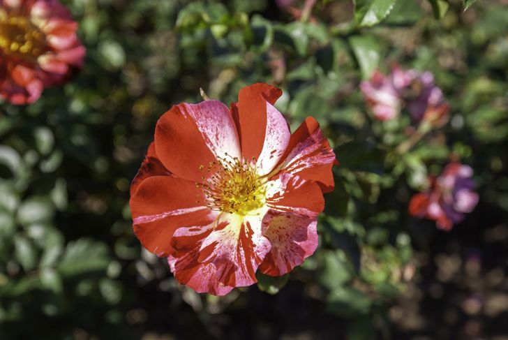 The glorious Fourth of July climbing rose.