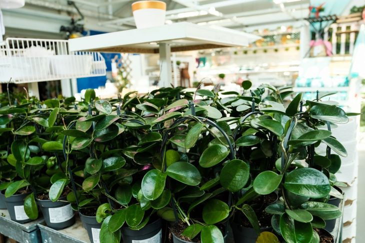 Hoyas are a popular choice for indoor gardening.