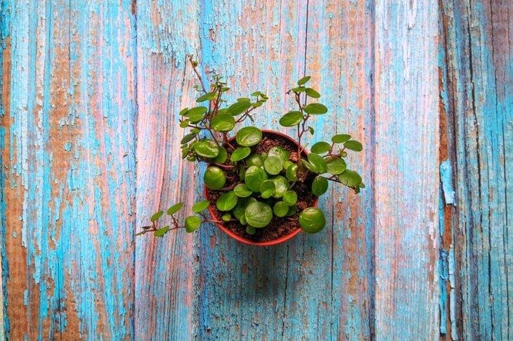 Peperomia Terrarium Plants Small Succulent