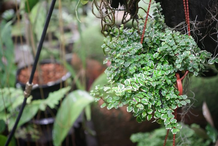 Creeping fig is a great choice for a hanging basket.