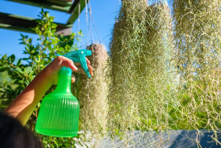 Fertilizing Spanish moss air plant.