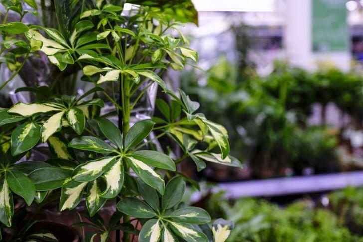 species umbrella plant schefflera