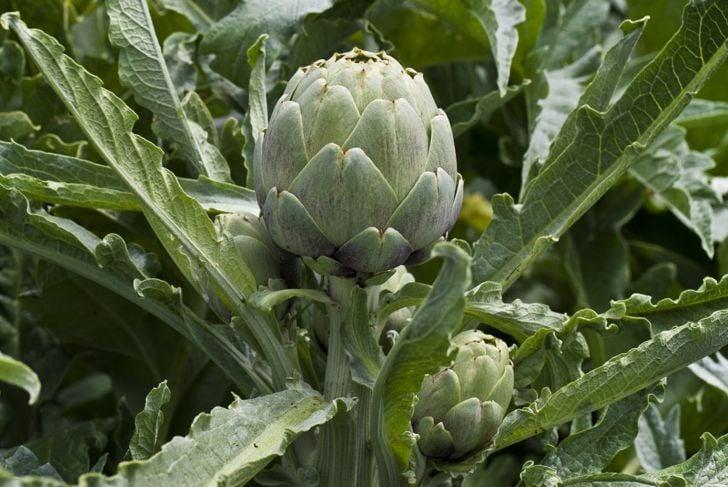 Close-up of an artichoke bud