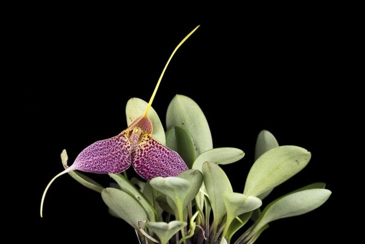 Masdevallia Orchid Terrarium Indirect Light