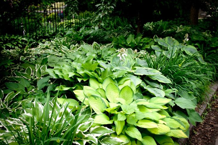 A large variety of hostas in one landscaped garden bed.