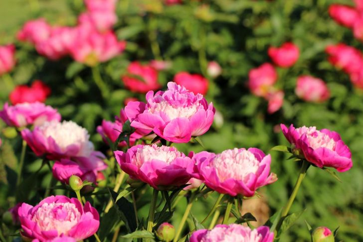 Peonies grow well with little special care.