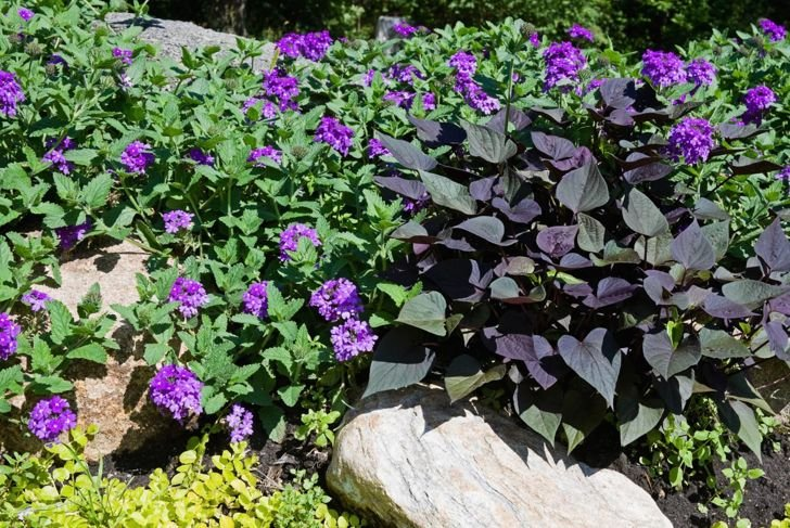 shade combination sweet potato vine