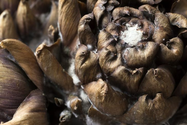 Closest photo I could find to a diseased artichoke.