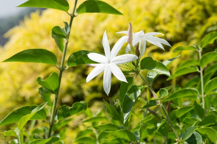 Full sun works best for star jasmine, but partial or full shade will suffice.