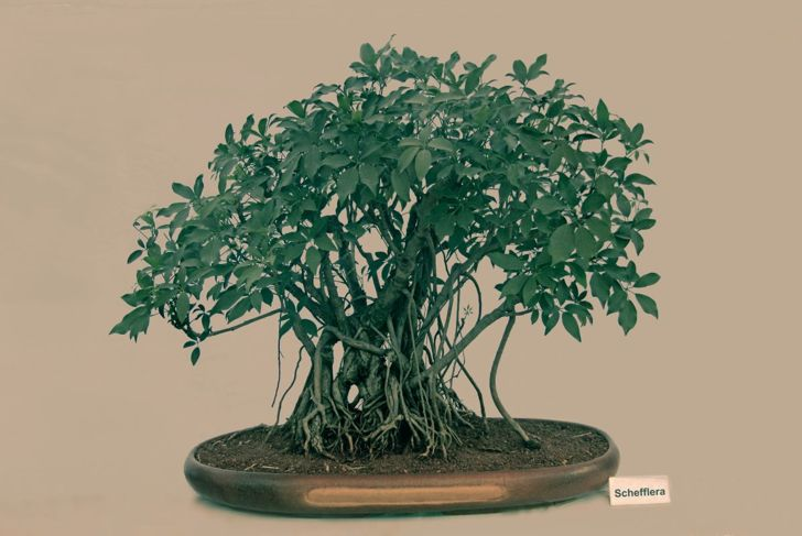prune leaves process schefflera bonsai