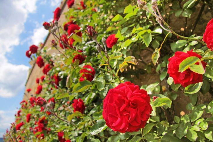 Classic climbing red rose.