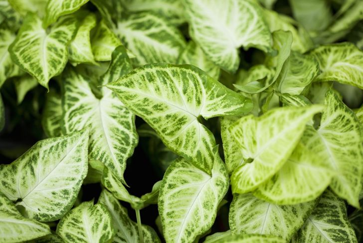 The variegated leaves of the arrowhead plant change appearance based on sun exposure.