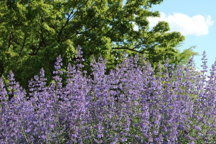 Evidence of healthy catnip plants