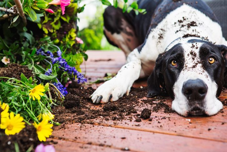 Evenly mix your bone meal into the soil so your pet won't be tempted.