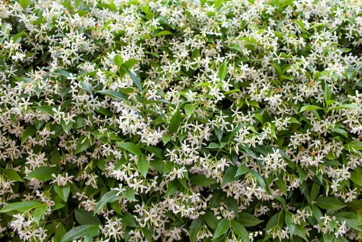 Simple, clean, and bright, star jasmine lends an elegant beauty to any gardening space.
