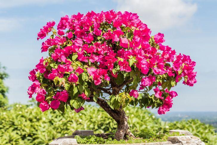 Bonsai Terrarium Cyprus Ficus Bougainvillea