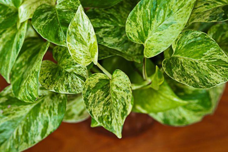 Pothos Growth Propagate Terrarium Versatile