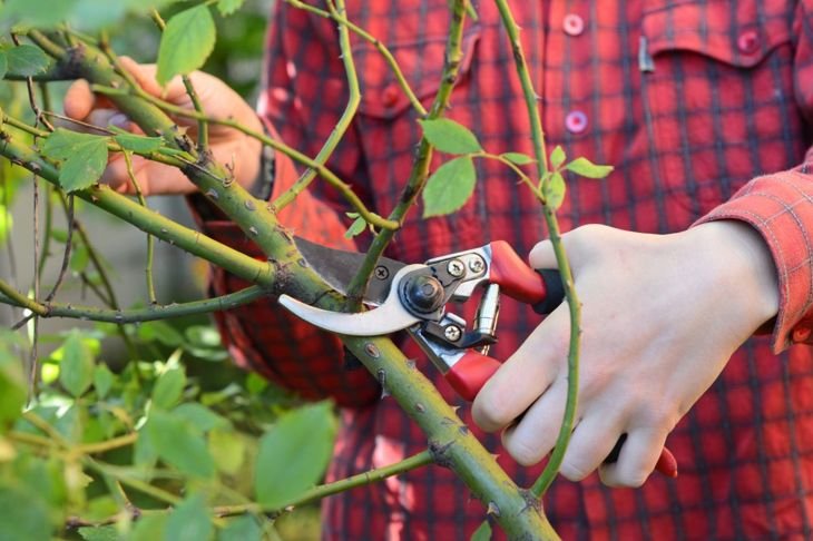 This image demonstrates how to cut a branch flush to the cane.