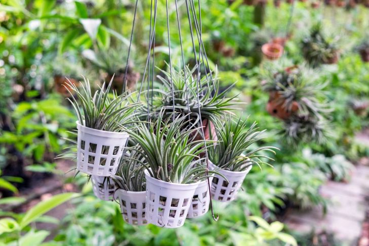 Hanging air plants allows proper aeration.