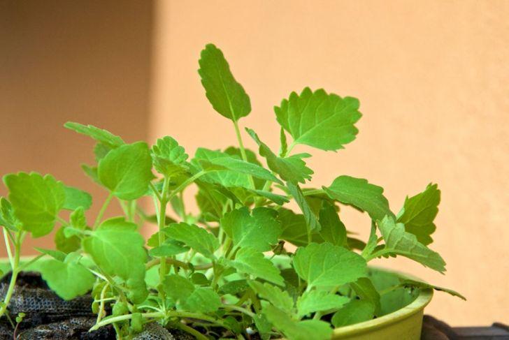 catnip in a planter