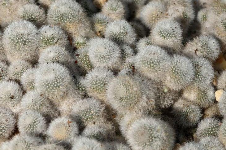 orange snowball cactus