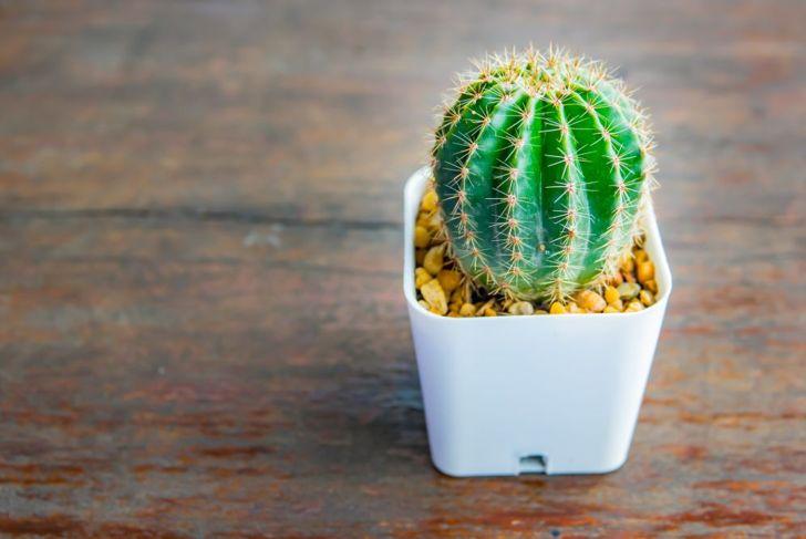 sea urchin cactus